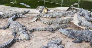 Crocodilos em Tailândia Foto de Stock Royalty Free