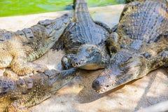 Crocodilos em uma exploração agrícola Imagens de Stock Royalty Free