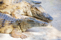 Crocodilos em uma exploração agrícola Foto de Stock Royalty Free