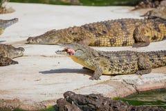 Crocodilos em uma exploração agrícola Imagem de Stock