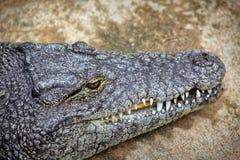 Crocodilos em uma exploração agrícola dos crocodilos Fotos de Stock Royalty Free