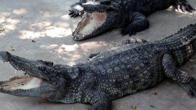 Crocodilos grandes vídeos de arquivo