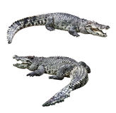 Crocodilos isolados Foto de Stock Royalty Free