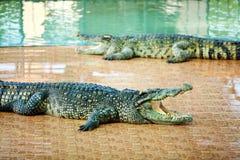 Crocodilos na exploração agrícola Fotografia de Stock