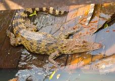 Crocodilos na vila de flutuação no lago sap de Tonle, Camboja Foto de Stock