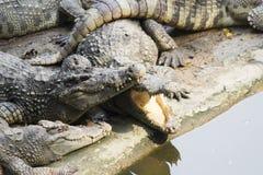 Crocodilos no banco de rio Fotos de Stock Royalty Free