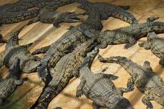 Crocodilos no sol Imagens de Stock