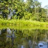 Crocodilos no tempo de alimentação na região do Amazonas de Equador Fotografia de Stock Royalty Free