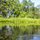 Crocodilos no tempo de alimentação na região do Amazonas de Equador Foto de Stock