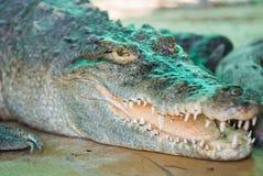 Crocodilos os animais os mais ferozes fotografia de stock