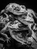 Crocodilos pequenos que descansam e empilhados Fotos de Stock Royalty Free