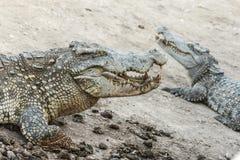 Crocodilos perigosos dos animais selvagens que vivem na natureza Imagem de Stock Royalty Free