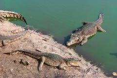 Crocodilos perto da água Fotos de Stock Royalty Free