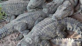 Crocodilos que encontram-se na terra vídeos de arquivo