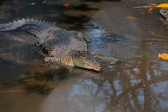 Crocodils. Crocodiles at zoos are looking for food when the stomach is hungry Royalty Free Stock Images