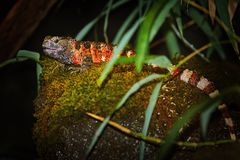 Crocodilurus chinois de Shinisaurus de lézard de crocodile image libre de droits