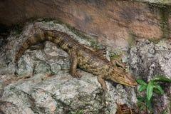 Crocodilus Caiman Стоковые Изображения