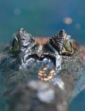 Crocodilus 9 de caïman Image stock