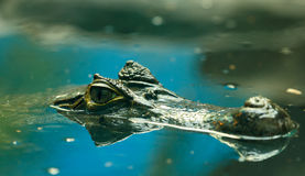 Crocodilus 11 de caïman Image stock