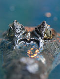 Crocodilus 9 del caimán Imagen de archivo