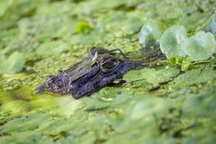 Crocodilus del caimán del caimán con gafas fotos de archivo libres de regalías