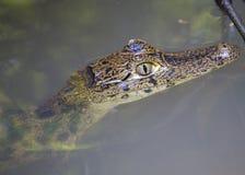 Crocodilus del caimán del caimán con gafas foto de archivo libre de regalías