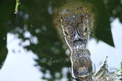 Crocodiluskajman Royaltyfria Foton