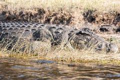 Crocodle in Botswana Royalty-vrije Stock Foto