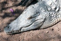 Crocodrile (detalle principal) Fotografía de archivo libre de regalías
