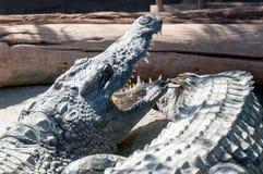 Crocodriles Fotografía de archivo libre de regalías