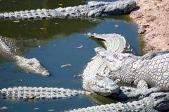 Crocodriles stockfoto