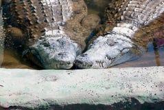 Crocodriles Foto de archivo libre de regalías
