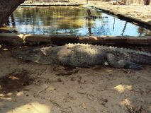 Crocodrylus acutus 免版税库存照片