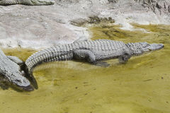 Crocodylia alligator Mississippi. A Crocodylia alligator of  Mississippi Stock Photo