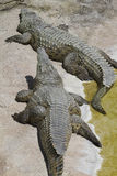 Crocodylia alligator Mississippi. A Crocodylia alligator of  Mississippi Royalty Free Stock Photos