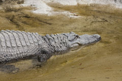 Crocodylia alligator Mississippi. A big Crocodylia alligator Mississippi Stock Photos