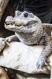 (Crocodylia) Crocodilia lub krokodyl Zdjęcia Stock