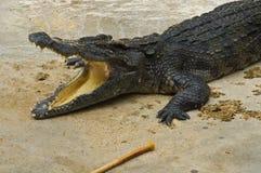 Crocodylidae or crocodile. Crocodylidae or a crocodile, Thailand Stock Photo