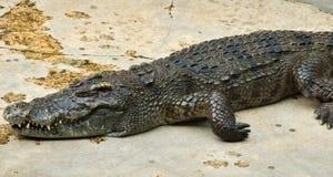 Crocodylidae ou crocodile Images libres de droits