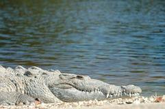 Crocodylus acutus Royalty Free Stock Photography