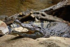 Crocodylus filipino Mindorensis del cocodrilo fotos de archivo libres de regalías
