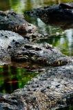 Crocodylus niloticus dei coccodrilli di Nilo, dettaglio del primo piano dei denti del coccodrillo con l'occhio aperto Fine della  Fotografia Stock Libera da Diritti