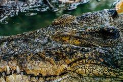 Crocodylus niloticus del coccodrillo di Nilo, dettaglio del primo piano dei denti del coccodrillo con l'occhio aperto Fine della  Immagini Stock