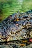 Crocodylus niloticus del coccodrillo di Nilo, dettaglio del primo piano dei denti del coccodrillo con l'occhio aperto Fine della  Immagini Stock Libere da Diritti