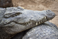 Crocodylus palustris Stock Image