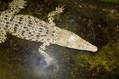 Crocodylus porosus del coccodrillo di Jung Saltwater fotografia stock libera da diritti