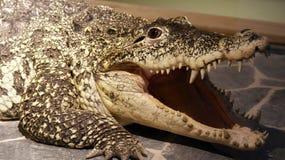 Crocodylus Rhombifer krokodyla aligatora gada zwierzę Niebezpieczny Zdjęcia Stock