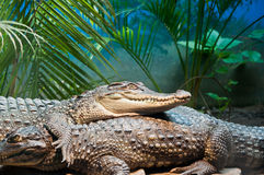 Crocodylus siamensis Schneider Stock Photo