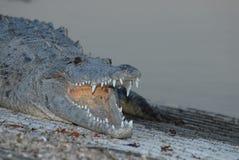 Crocodylusacutus Royaltyfri Fotografi