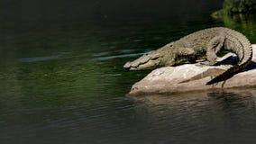 Crocodyluspalustris - lösa Marsh Crocodile som tar dykningen in i floden royaltyfri fotografi